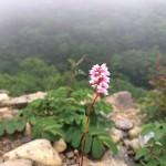 早池峰山夏の高山植物と薬師岳のヒカリゴケ