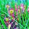 モウセンゴケってこんなに小さいの?八幡平、雨の湿原の魅力